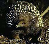 photoshop this echidna